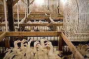 Fans circulate the air in the large hangar where the ducks, held in pens, are force-fed meals by workers a few times daily at Hudson Valley Foie Gras in Ferndale, New York on October 11, 2008. Migratory birds, including ducks, are capable of storing large amounts of fat in their liver. Forced overeating replicates the effect, producing the enlarged, fatty livers used for Foie Gras.