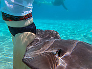 Snorkeling with sting rays, Tiahura, Moorea, French Polynesia, South Pacific