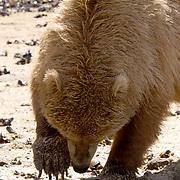 Alaskan Brown Bear, (Ursus middendorffi)  Close up of bear clamming. Katmai National Park. Alaska.