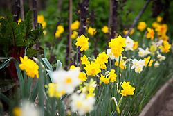Narcissus 'Evan Scent mix'