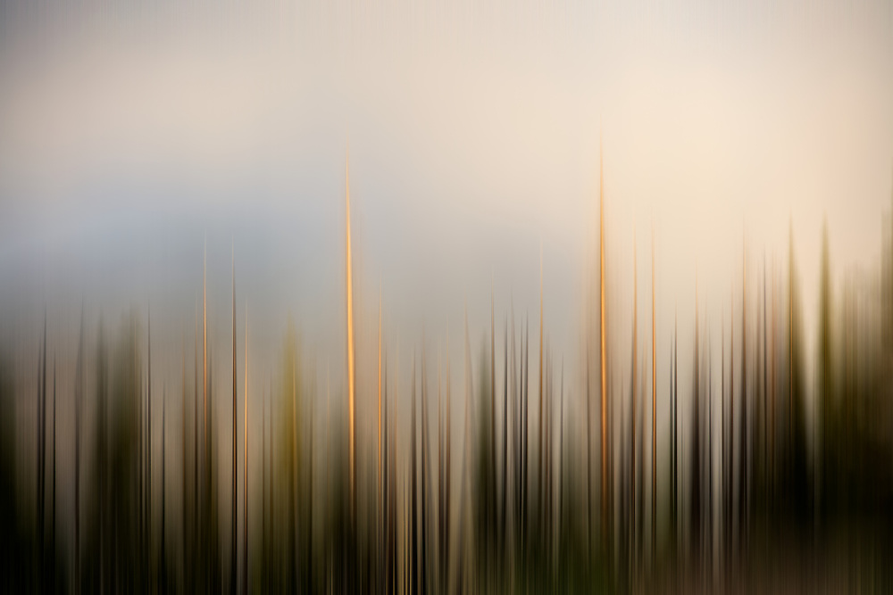 Open Edition<br /> Lodgepole Pines Trees in blur motion on a Montana Summit in a Summer Sunset