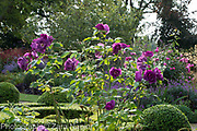 Rosa 'Rhapsody in Blue' syn. Frantasia a shrub rose in front of the Buxus - box parterre, September