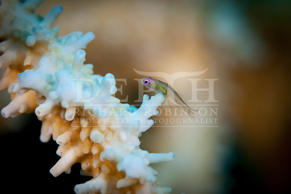 Bryaninops natans  also known as the Red Eye Goby and the Hovering Goby in the Vava'u island group of the South Pacific Kingdom of Tonga.<br /> Sunday 11 January 2015<br /> Photograph Richard Robinson © 2015