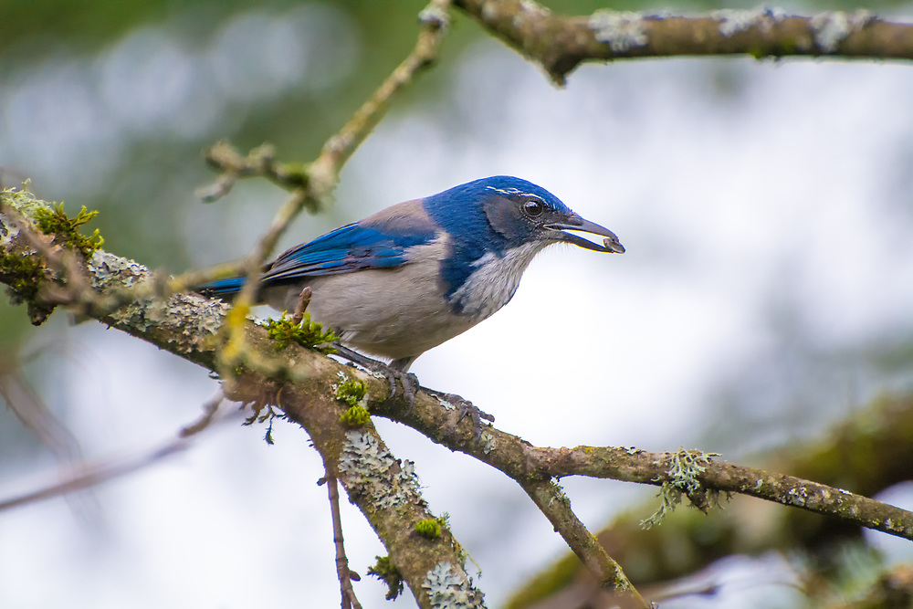 """Recently, the western scrub jay was split into two distinct species: the California scrub jay (which is a brighter blue and is found in the coastal regions of the Pacific Northwest) and the Woodhouse's scrub jay (which is a duller blue and found in more interior regions away from the coast.) Much like any jay or other corvid, these often loud and very inquisitive birds will eat just about anything they can overpower or steal. These California scrub jays are easy to recognize from their neighboring cousins by the distinct blue """"collar"""" around the neck. This one was found screeching in a maple tree in Southern King County, Washington on a chilly afternoon."""