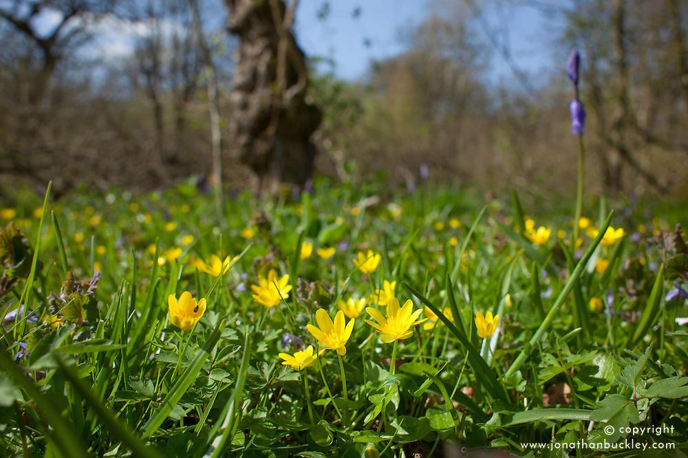 Lesser Celandine, the spring buttercup, growing in Hayley Wood. Ranunculus ficaria