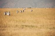 A dazzle of Zebras in the Masai Mara National Reserve, Kenya, Africa