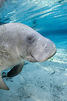 Florida manatee, Trichechus manatus latirostris, a subspecies of the West Indian manatee, endangered. An adult manatee floats in the warm blue freshwater of the springs. It has an expressive eye. Vertical orientation with warming sun rays and blue water. Three Sisters Springs, Crystal River National Wildlife Refuge, Kings Bay, Crystal River, Citrus County, Florida USA.