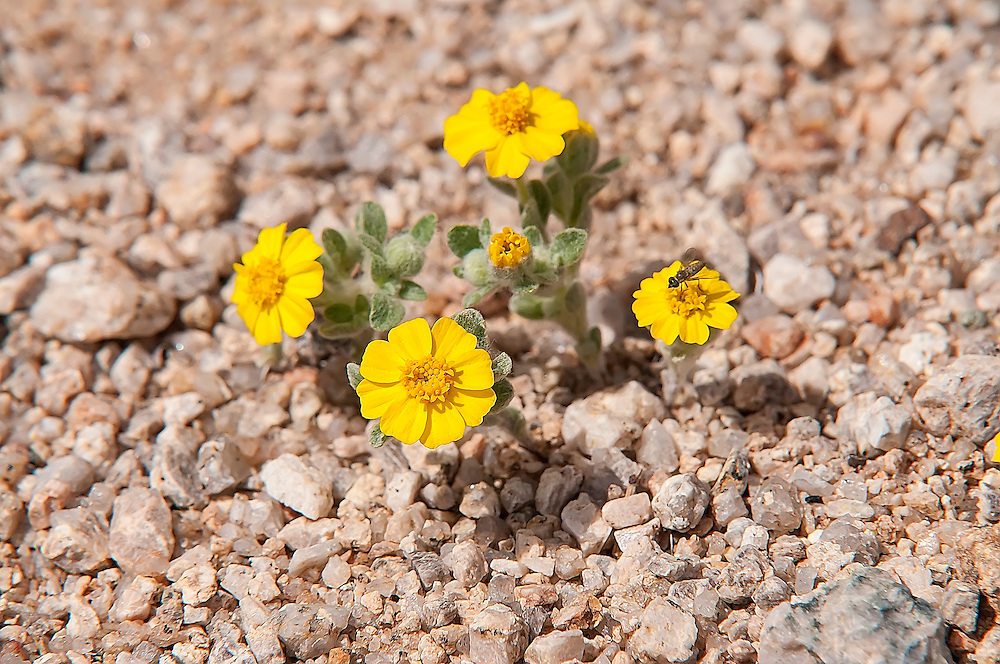 This tiny daisy grows in many of the hottest, most arid deserts of the American Southwest in sand, gravel and scattered rocks. Easily identified by both it's dimunitative size and choice of habitat, close inspection of the foliage reveals a very wooly, hairy hovering of silvery hairs on the leaves and stem. This was one of many found in an open area in the Mojave Desert in Southern California.