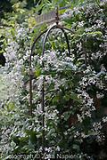 Clematis jouiniana Mrs Robert Brydon - September