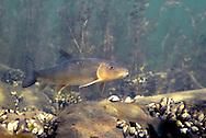 White Sucker<br /> <br /> Engbretson Underwater Photography