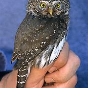 Northern Pygmy Owl, (Glauidium gnoma) Denver Holt holding captured male prior to scientific measurements. Western Montana. Summer.