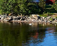 Mute Swan (Cygnus olor). Viewed from the deck of the MV Explorer, Stockholm Archipelago. Stockholm, Sweden. Image taken with a Nikon D4 camera and 80-400 mm VR lens.