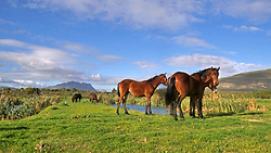 Fisher Haven. 290720.  A group of free roaming, feral horses in Fisher Haven using this area as their grazing grounds. Picture: Ian Landsberg