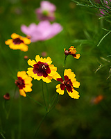 Coreopsis (tickseed). Image taken with a Nikon D850 camera and 60 mm f/2.8 macro lens