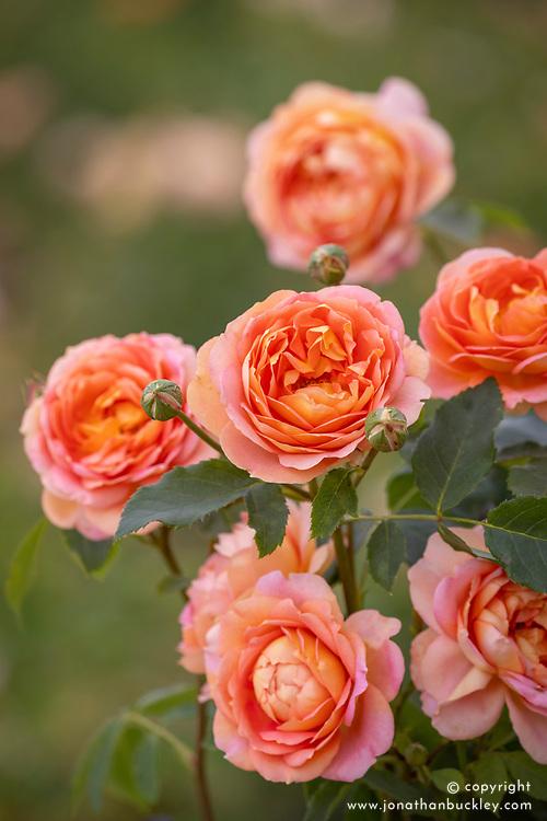 Rosa 'Lady of Shalott' syn. 'Ausnyson' AGM