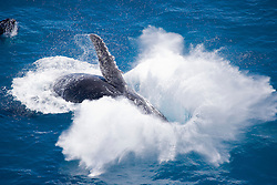 A huge splash as a humpback whale breaches off Broome's Cable Beach