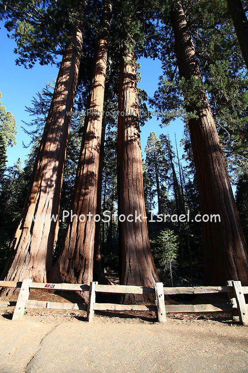 Giant Sequoia (Redwood) trees at Sequoia and Kings National Park, California, USA