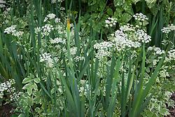 Variegated ground elder with Iris foliage. Aegopodium podagraria 'Variegatum', iris Monspur Group
