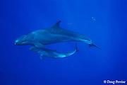 false killer whale & calf, Pseudorca crassidens, Kona Hawaii ( Central Pacific Ocean )