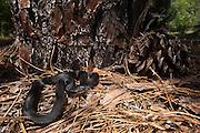 Black Pine Snake (Pituophis melanoleucus lodingi) CAPTIVE<br /> Southern USA<br /> Habitat & Range: Open longleaf pine & oak forests with loose sandy soil.  Originally native throughout Mississippi, Louisiana and Alabama.<br /> ENDANGERED SPECIES