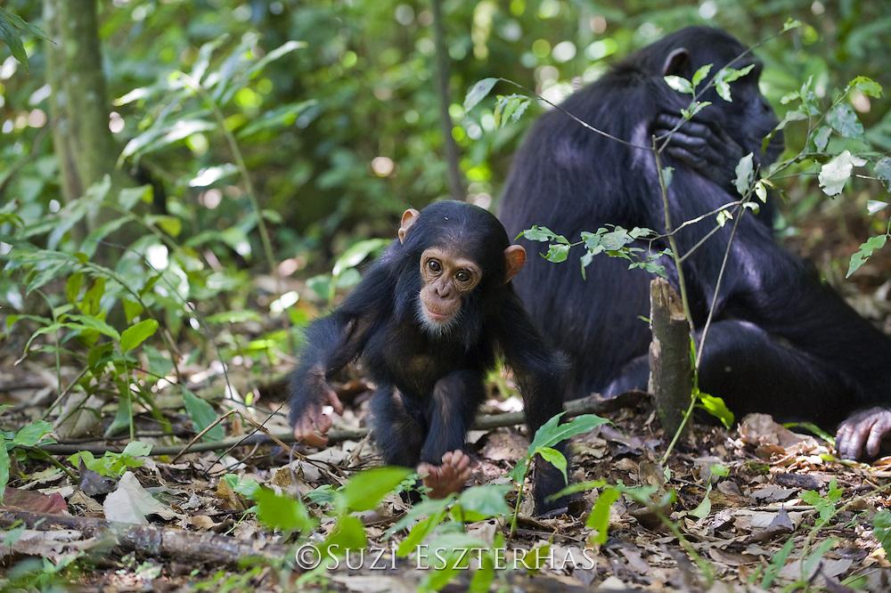 Chimpanzee<br /> Pan troglodytes<br /> One year old infant<br /> Tropical forest, Western Uganda