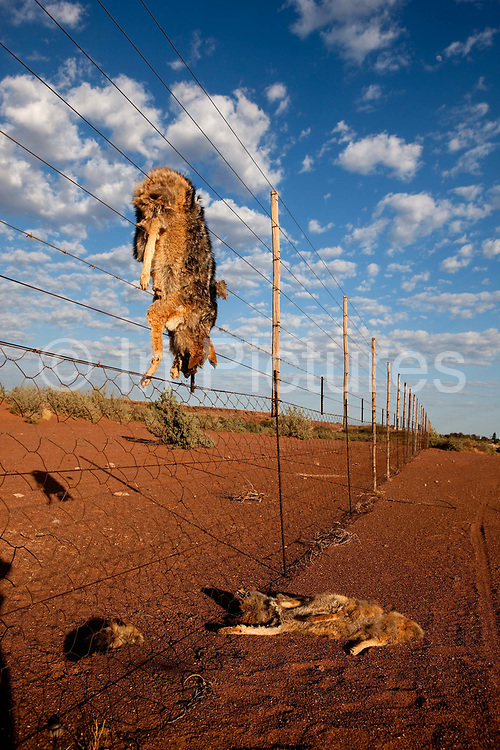 Dead carcases of wild cats & jackals left by farmers as warning, near Keetmanshoop, Namibia