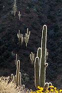 Saguaro and brittle bush bloom