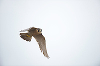 Peregrine falcon (Falco peregrinus) in Barcelona,  Spain, nesting on the Cathedral of Gaudi the Sagrada familia.