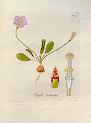 Woodsorrel (Oxalis rostrata). Illustration from 'Oxalis Monographia iconibus illustrata' by Nikolaus Joseph Jacquin (1797-1798). published 1794