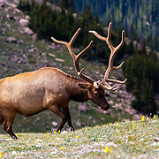 A Rocky Mountain elk grazes on the tundra high in the mountains of Rocky Mountain National Park, Colorado.