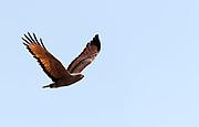 Savanna hawk (Buteogallus meriodionalis) from Pantanal, Brazil.