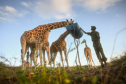 Rothschild's (Nubian) giraffe who had become stranded on Longicharo Island, a rocky lava pinnacle, inside Lake Baringo in western Kenya, get ready to be moved off the flooded island by a barge December 2, 2020.  Rising lake levels have cut the peninsula into an island, trapping 8 giraffes. The local community is working with conservation organizations to keep them alive. She was moved on the barge for 1.1. miles to the 4,400-acre fences sanctuary within the 44,000 acre Ruko Conservancy.  Today, fewer than 3,000 Rothschild's giraffes are left in Africa, with about 800 in Kenya.   (Photo by Ami Vitale)