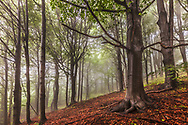 Misty wood with large beech trees