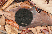 Monkey Comb, Apeiba membranacea, Tiliaceae, Panama, Central America, Barro Colorado Island, fruit on leaf on forest floor