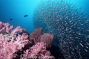 soft corals, barrel sponges, and schooling baitfish, Shark Point, Phuket, Thailand ( Indian Ocean )