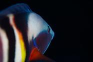 Coris sandageri (Sandager's wrasse)