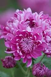 Chrysanthemum 'Bagley Rose'