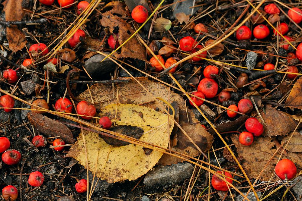 Fallen pine needles and mountain ash berries, Greater Sudbury, Ontario, Canada