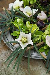 Detail of hellebores in pewter dish arrangement. Helleborus orientalis and Helleborus foetidus