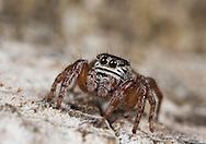 Evarca arcuata - Female. Salticidae. A species of lowland wet heath.