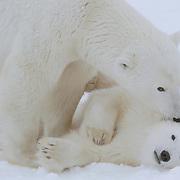Polar bear (Ursus maritimus) mother grooms her cub at Cape Churchill, Manitoba, Canada.
