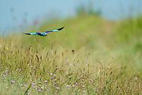 European Roller (Coracias garrulus) in flight, Blauracke fliegend, near Nikopol, Bulgaria