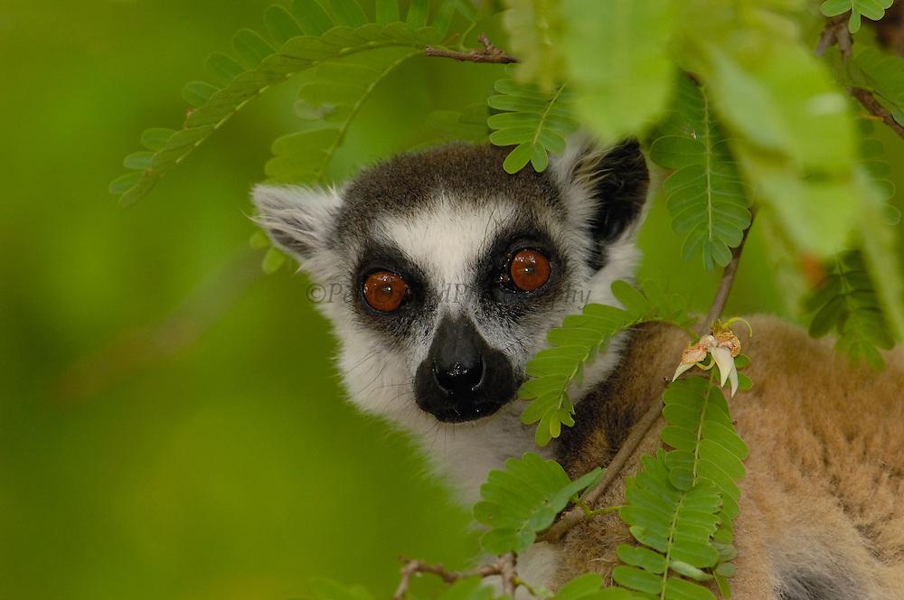 Ring-tailed Lemur (Lemur catta) portrait amid foliage, vulnerable, Berenty Reserve, southern Madagascar