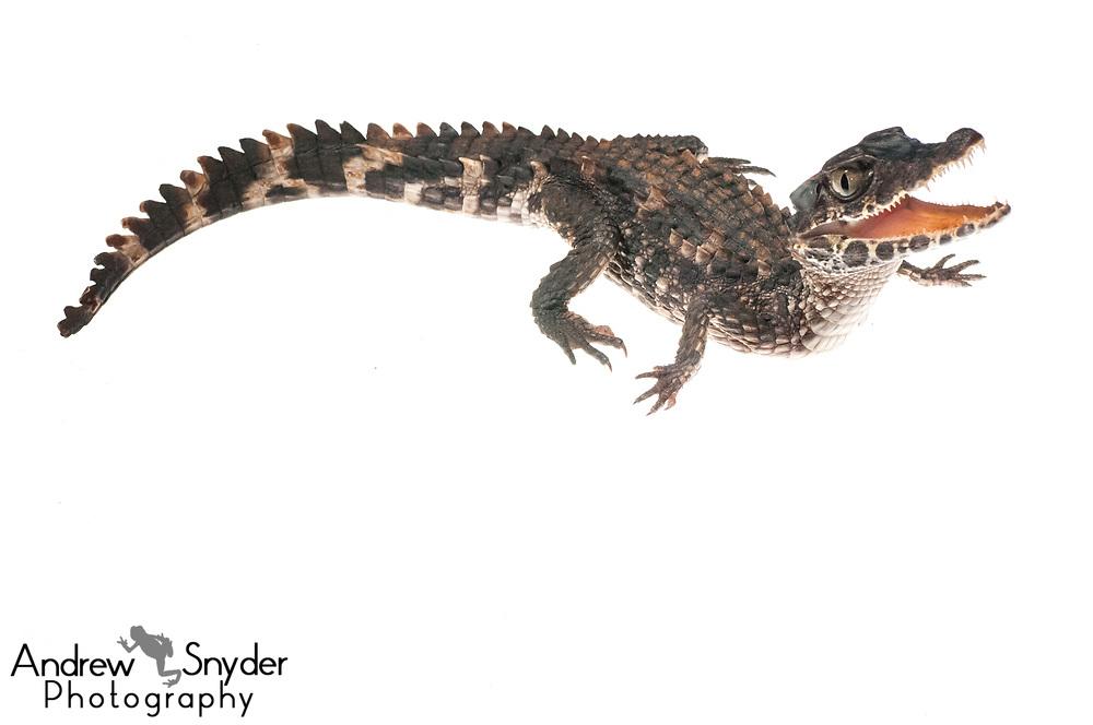 Smooth-fronted caiman, Paleosuchus trigonatus, Kanuku Mountains, Guyana, July 2013