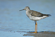 Lesser Yellowlegs - Tringa flavipes - breeding adult