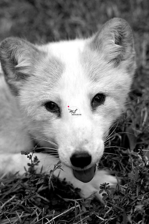 White Artic Fox domestic