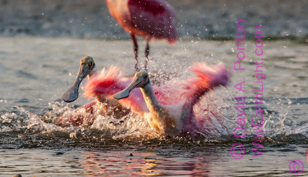 Two roseate spoonbills bathing by energetically splashing together, Florida, © David A. Ponton