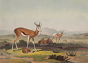 springbok (Antidorcas marsupialis) here as Spring-Bok hand colored plate from the collection of  ' African scenery and animals ' by Daniell, Samuel, 1775-1811 and Daniell, William, 1769-1837 published 1804