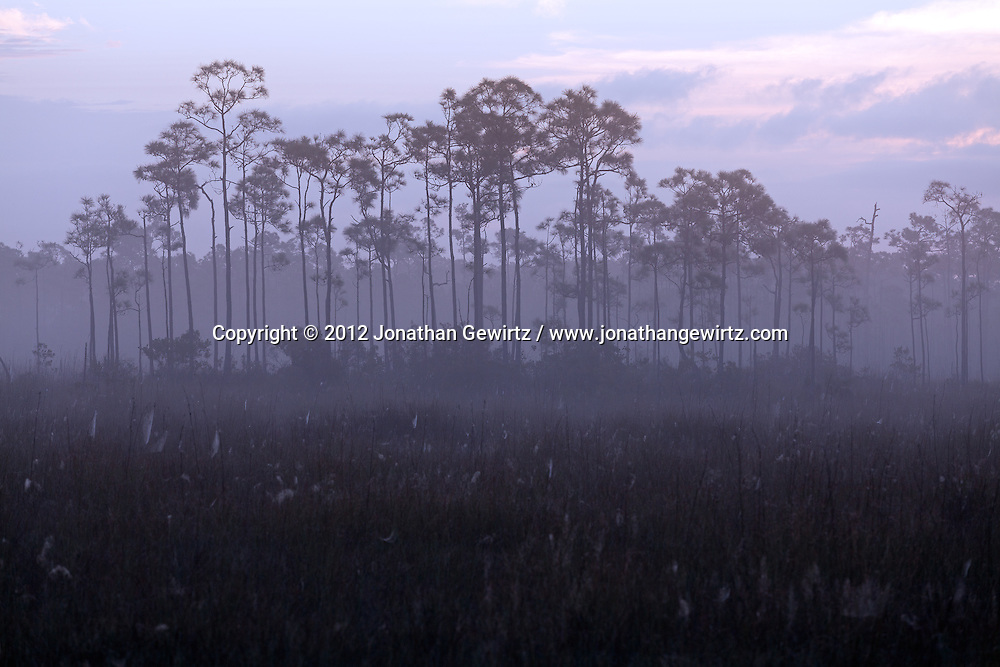 A stand of conifers protrudes from the morning fog in a sawgrass meadow full of dew-covered spider webs in Everglades National Park, Florida. WATERMARKS WILL NOT APPEAR ON PRINTS OR LICENSED IMAGES.