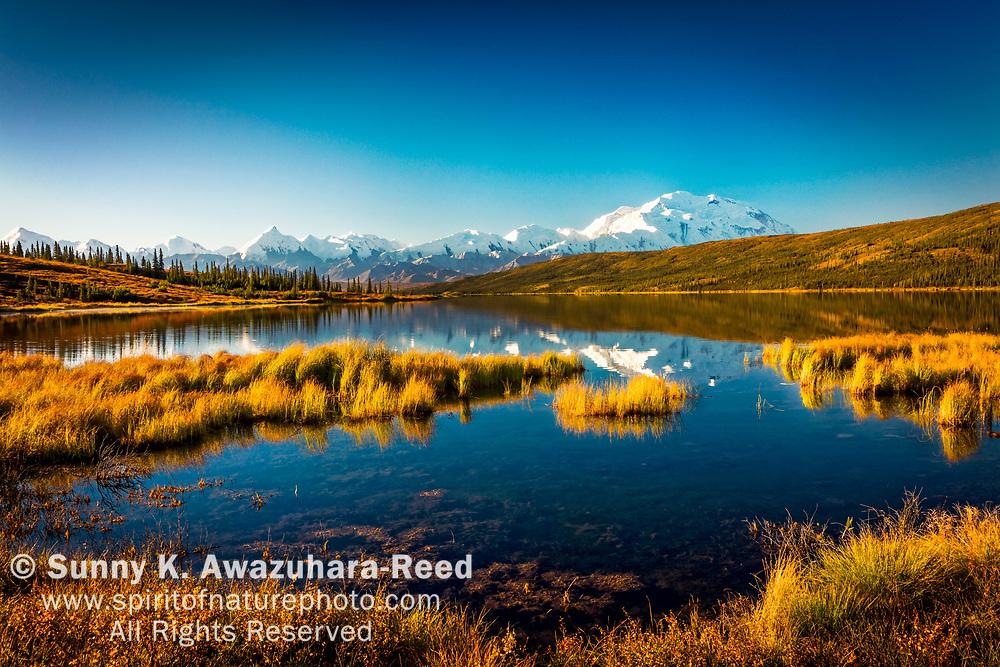 Mt. Denali (McKinley) reflects on Wonder Lake with fall color tundra, under blue sky. Denali National Park & Preserve, Interior Alaska, Autumn.